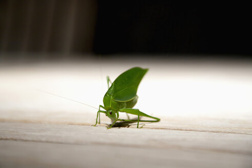 Brazil, Grasshopper on wooden table, close up - NDF000400