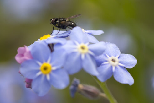 Germany,  Fly on forget me not flowers, close up - SARF000036