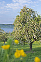Germany, Bavaria, Cherry trees in blossom above Lake Constance - SH000688