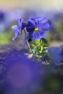 Germany, Hesse, Pansy flowers, close up - SRF000085
