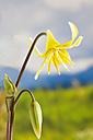 Erythronium dens canis flower, close up - CSF019189