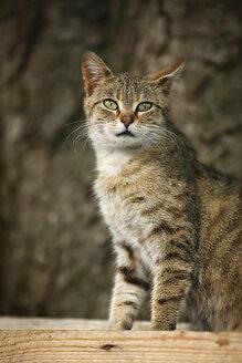 Germany, Baden Wuerttemberg, Cat sitting, close up - SLF000074