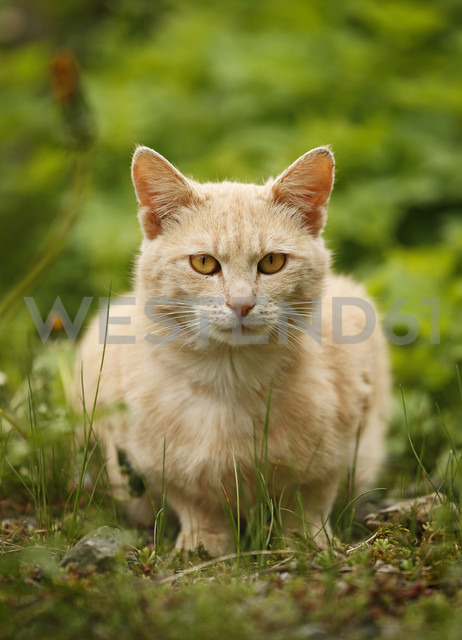 Germany, Baden Wuerttemberg, Cat sitting in meadow - SLF000057