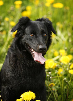 Germany, Baden Wuerttemberg, Dog sitting in meadow, close up - SLF000053