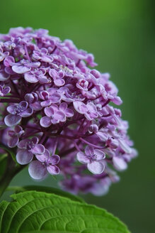 Germany, Baden Wuerttemberg, Hydrangea arborescens, close up - BST000062