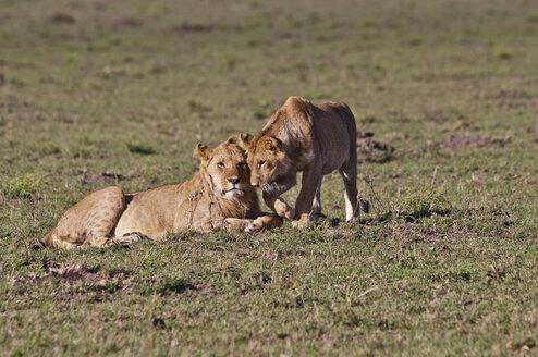 Africa, Kenya, Lions in Maasai Mara National Park - CB000105