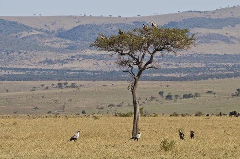 Africa, Kenya, Vultures on Umbrella Thorn Acacia tree at Maasai Mara National Park - CB000093