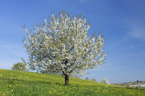 Germany, Bavaria, Cherry tree blossom in field - RUEF001072