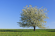 Germany, Bavaria, Cherry tree blossom in field - RUEF000997