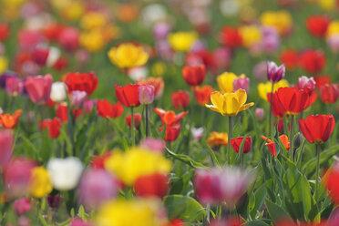 Germany, Multicoloured Tulip flowers in field - RUEF001009