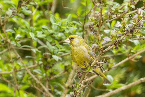 Germany, Hesse, Greenfinch bird perching on branch - SR000132