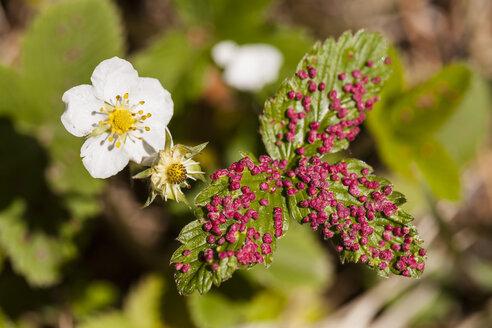Germany, Hesse, Wild Strawberry, close up - SR000157
