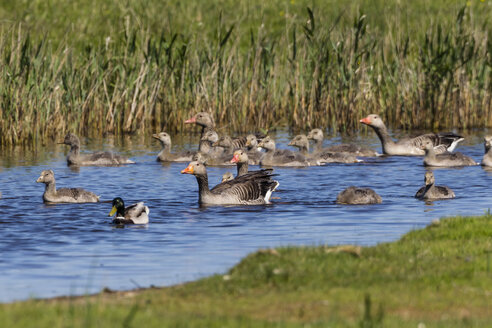 Germany, Schleswig Holstein, Greylag Goose with chicks in water - SR000163