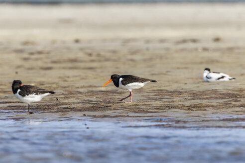 Germany, Schleswig Holstein, Oystercatcher birds perching on sand - SR000182