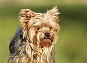 Germany, Baden Wuerttemberg, Yorkshire Terrier dog, close up - SLF000107