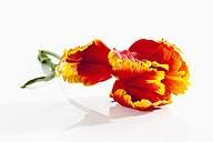 Fringed red tulip flower on white background, close up - CSF019290