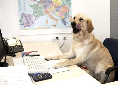 Austria, Labrador sitting at desk in office - CW000056