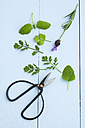 Mint, lavender, coriander and scissors on wooden table, close up - ECF000172