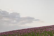 Germany, Hesse, Optimum poppy - SR000240