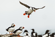 England, Northumberland, Puffins at Farne Islands - SR000244