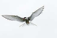 England, Northumberland, View of Arctic Tern flying - SR000265