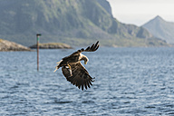 Norway, Sea eagle with salmon - HWO000022