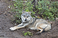 Norway, Wolf resting and looking away - HWO000027