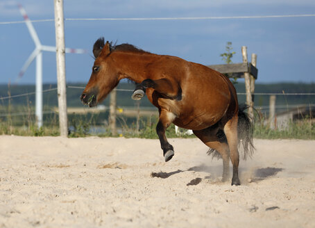 Germany, Baden Wuerttemberg, Shetland pony bucking on sand - SLF000171