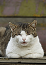 Germany, Baden Wuerttemberg, Satteldorf, Domestic cat, close up - SLF000173