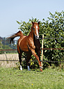 Germany, Baden Wuerttemberg, Constance, View of Trakehner mare galloping in meadow - SLF000155