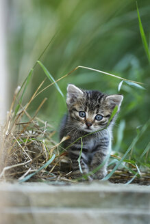 Germany, Baden Wuerttemberg, Kitten sitting, close up - SLF000188