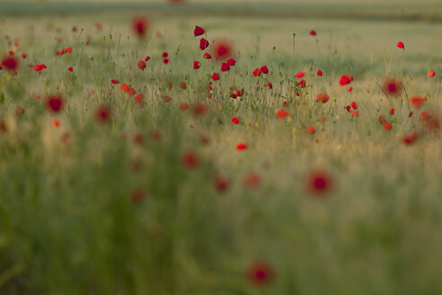 Germany, Baden Wuerttemberg, View of poppies in field - BSTF000092