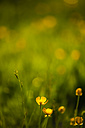 Germany, Buttercup flower, close up - JTF000456