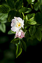 Germany, Dog rose flower, close up - JTF000465