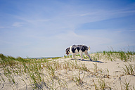 Denmark, Romo, Dog standing at North Sea - MJF000270