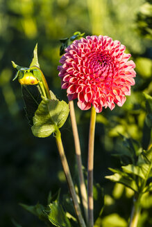 Germany, Hesse, Dahlia flower, close up - SR000278