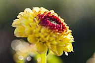 Germany, Hesse, Dahlia flower head, close up - SR000279