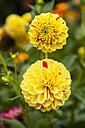 Germany, Hesse, Dahlia flowers, close up - SR000283