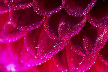 Germany, Hesse, Dahlia flower head, close up - SR000288