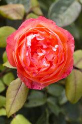 Germany, Hesse, Rose flower, close up - SR000291