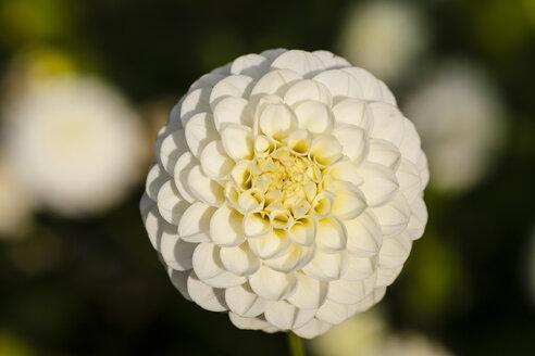 Germany, Hesse, Dahlia flower head, close up - SR000292