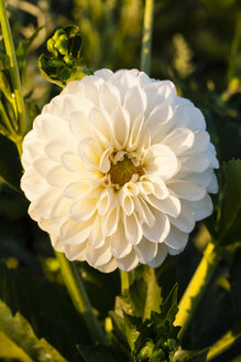 Germany, Hesse, Dahlia flower, close up - SR000314