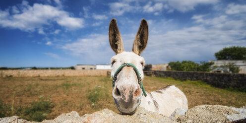 Spain, Menorca, Donkey near stonewall - SMA000140