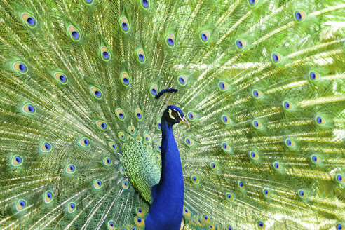 Spain, Mallorca, Peacock, close up - STDF000009
