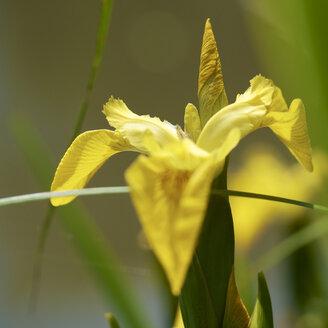 Germany, Hesse, Iris Pseudacorus flower, close up - MH000194
