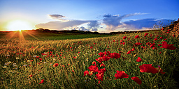 Spain, Menorca, Field of poppy flowers - SMAF000152
