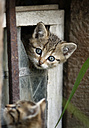 Germany, Baden Wuerttemberg, Kittens playing in broken window - SLF000208