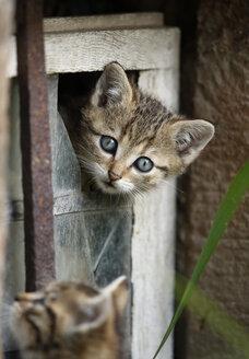 Germany, Baden Wuerttemberg, Kittens playing in broken window - SLF000208