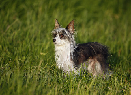 Germany, Baden Wuerttemberg, Chinese crested dog standing in grass - SLF000182