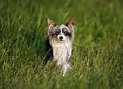 Germany, Baden Wuerttemberg, Chinese crested dog standing in grass - SLF000184